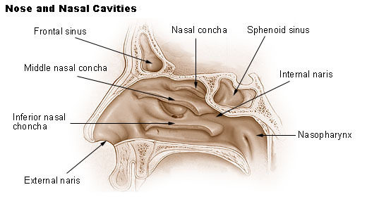 Illustration showing nose and nasal cavities